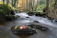 Autumn Leaves at Goit Stock falls, Yorkshire, United Kingdom