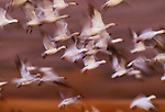 Snow geese, Bosque del Apache National Wildlife Refuge, New Mexico