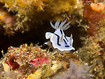 Apo Reef, Sulu Sea -- A nudibranch, Chromodoris Willani, crawling over a rock.