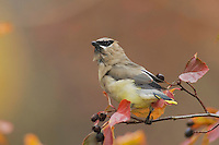 Cedar Waxwing, Bombycilla cedrorum, adult on hawthorn with fallcolors, Grand Teton NP,Wyoming, September 2005