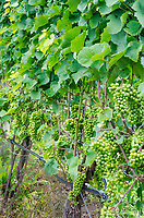 Riesling grapes hang on vines just beginning to swell before verasion, Finger Lakes Region, Yates County, New York