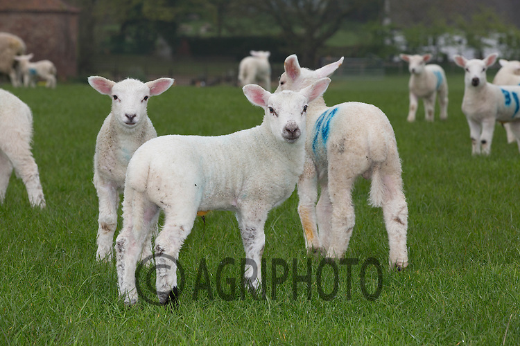 Spring lambs<br /> Picture Tim Scrivener 07850 303986