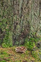 ORPTH_131 - USA, Oregon, Portland, Hoyt Arboretum, Mushroom growing at mossy base of Douglas fir tree.