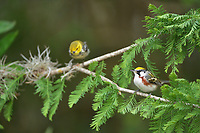 Chestnut-sided Warbler (Dendroica pensylvanica), adult male, South Padre Island, Texas, USA