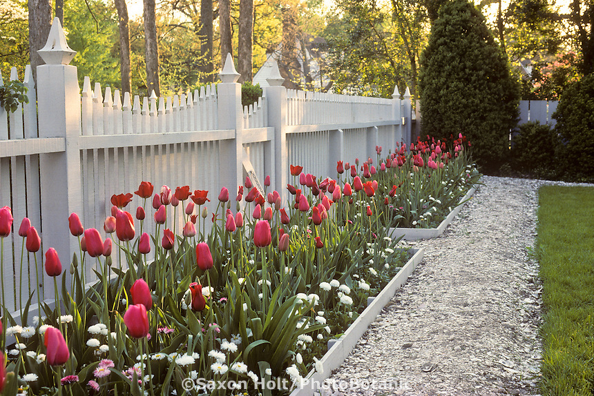 Crushed Oyster shell path along border of Tulips