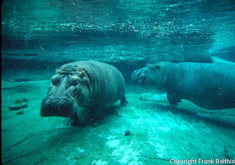 Hippopotamus at San Diego Zoo