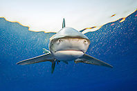 oceanic whitetip shark, Carcharhinus longimanus, threatened spcecies, Kona Coast, Big Island, Hawaii, Pacific Ocean