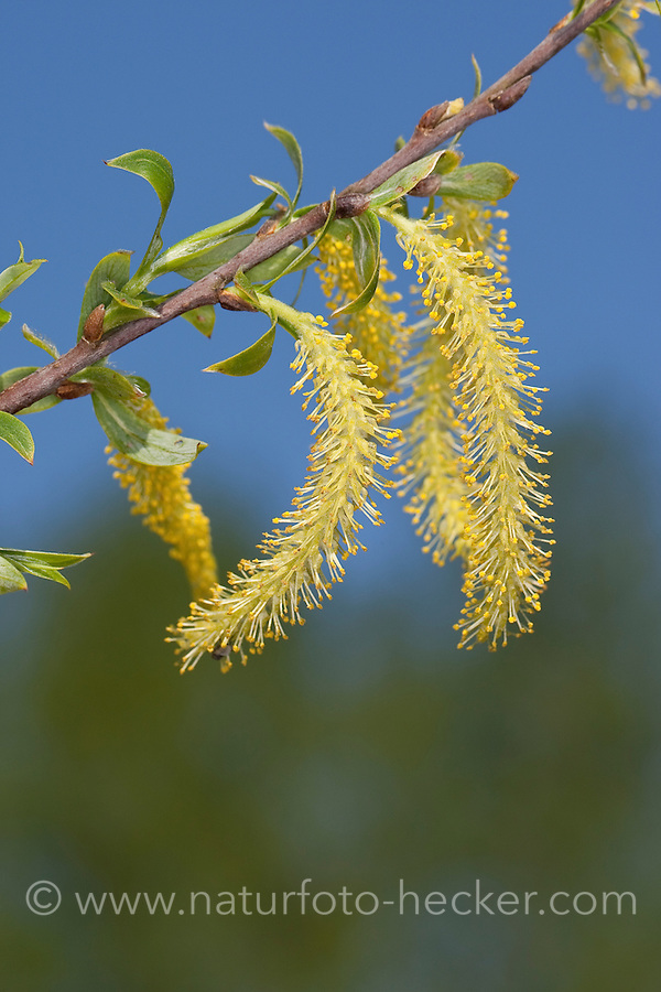 Silber-Weide, Silberweide, Weide, männliche Blüten, Salix alba, White Willow