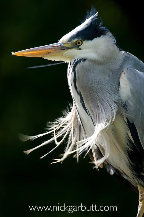 Wild Grey Heron (Ardea cinerea). Isle of Mull, Scotland.