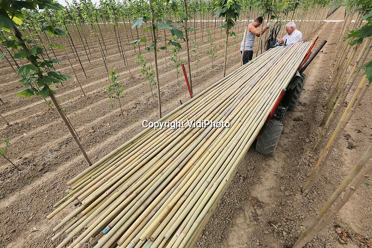 Foto: VidiPhoto<br /> <br /> KESTEREN - Henk (sr.) en Gijs Tijssen van loonbedrijf Tijssen uit Opheusden plaatsen dinsdag met een zogenoemde stokkensteekmachine, tonkinstokken (soort bamboe) naast de lindebomen van boomkweker W. van Lent &amp; Zn. Op het perceel in Kesteren moeten zo'n 4000 jonge boompjes voorzien worden van een extra steun, zodat de kruinen recht groeien en ze bij harde wind niet omwaaien. Nederlandse boomkwekers hebben op dit moment een serieus stokkenprobleem. Jaarlijks worden er tientallen miljoenen tonkinstokken ge&iuml;mporteerd vanuit China. Door het groeiende areaal aan laanboompercelen dreigt er een tekort aan stokken te ontstaan. Bovendien wordt de kwaliteit van de Chinese stokken steeds slechter, met gevolg voor de kwaliteit van de boom en hogere arbeidskosten. Het vervangen van de stokken is veel werk. Een tonkinstok gaat slechts &eacute;&eacute;n teelt (3-4 jaar) mee.