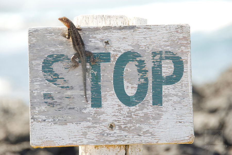 lizzard who stops at the stopsign, but probably he was just on the outlook to see if there were any guards around, before he could move on. picture taken on tortuga bay galapagos