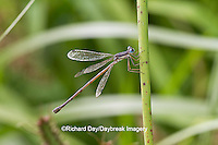 06036-00102 Slender Spreadwing Damselfly (Lestes rectangularis) in wetland, Marion Co., IL