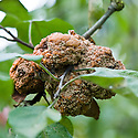 Brown rot on a cluster of Apple 'Anna Boelens'