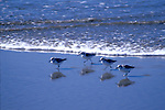 Shore birds playing in the water, Mendocino California