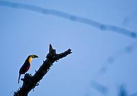 Pocos de Caldas_MG, Brasil. ..Tucano no galho de uma arvore em Pocos de Caldas, Minas Gerais...Toucan on the tree branch in Pocos de Caldas, Minas Gerais...Foto: JOAO MARCOS ROSA / NITRO