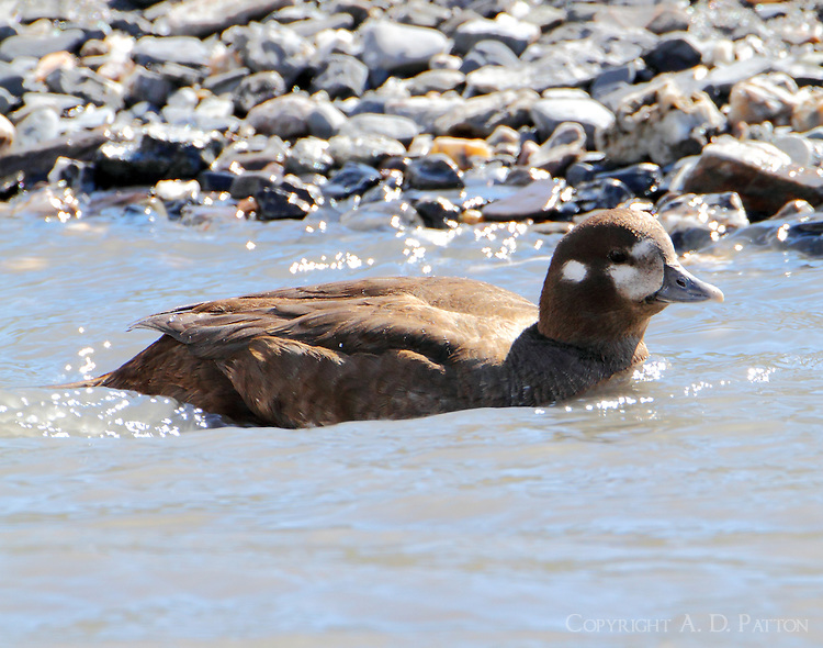 Female harlequin duck swimming in Savage River in June