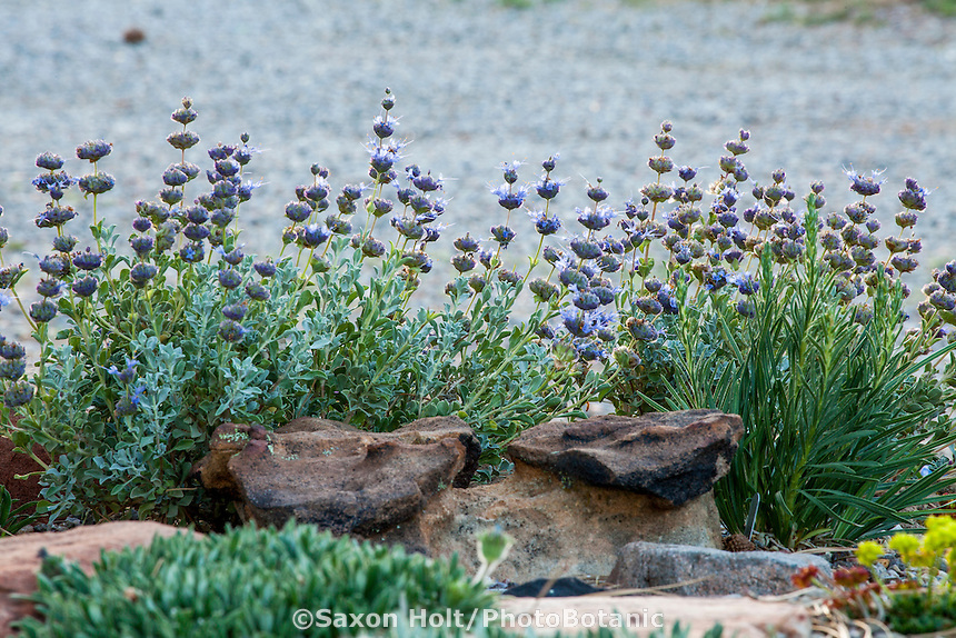 Salvia dorrii, Desert Purple Sage flowering in David Salman New Mexico xeric rock garden