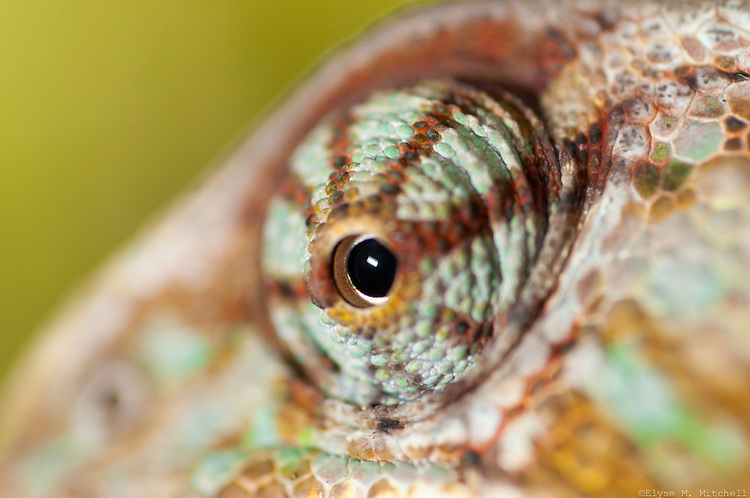 This is a Vail Chameleon Lizard eyeball. This reptile was brought to Rocky Nook Park by famous animal wrangler Dennis Sheridan and other various educators. I shot this guy with a 60mm lens (Magnification 3x).