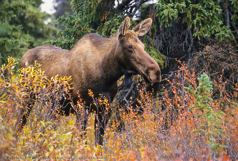 cow moose, autumn tundra and boreal forest, Denali National Park, Alaska