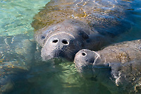 Florida manatee, Trichechus manatus latirostris, a subspecies of the West Indian manatee, Trichechus manatus, mother and calf, breathing, Crystal River, Florida, USA, Kings Bay, Gulf of Mexico, Atlantic Ocean