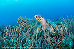 A Hawksbill Sea Turtle, Eretmochelys imbricata, rests among soft corals on a coral reef offshore Palm Beach, Florida, United States.