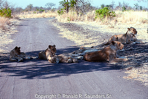 PRIDE of LIONS LAY ACROSS a ROAD at SAMBURU GAME PRESERVE