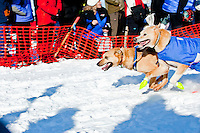 Lead sled dogs for musher Pat Moon race along trail at Restart of Iditarod 2012, Willow, Alaska, March 4, 2012