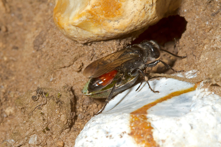 Astata boops - a species of solitary predatory wasp