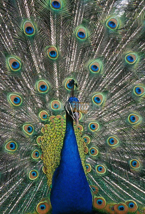 Peacock displaying tail feathers..#7420-0715