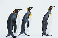 King Penguins (Aptenodytes patagonicus), S. Georgia Island