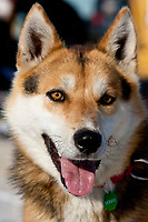 Portrait of Kristy Berington's dog *Jonah* at the Elim checkpoint in Arctic Alaska during the 2010 Iditarod