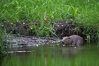 Europäischer Biber, Altwelt-Biber, Castor fiber, Eurasian beaver, European beaver, Castor d´Europe