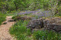 Mulched path trail through nature's garden design with rock outcrop in Oak woodland clearing - Camassia Nature Preserve, The Nature Conservancy protected park, Portland Oregon