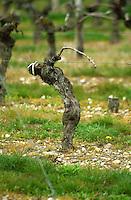 Guyot pruned vines in the vineyard. Haut-Medoc. Medoc, Bordeaux, France