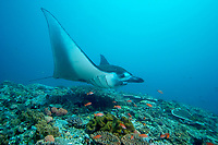 reef manta ray, Manta alfredi, Manta alley, Komodo island, Flores sea, Indian Ocean, Indonesia, Asia