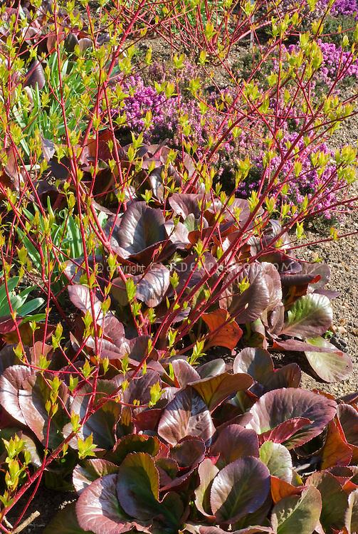 Bergenia 'Bressingham Ruby' foliage with Cornus alba 'Sibirica' in march