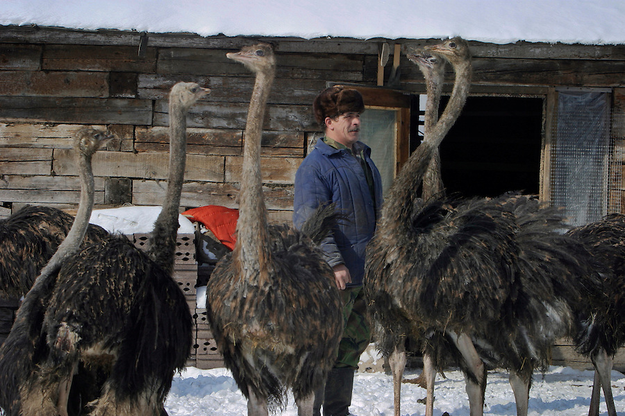 Nekrasovka, Russia, 03/03/2004..Private farmer Alexander Mazepin has recently begun raising ostriches in addition to his small herd of cattle.