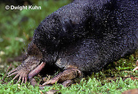 MB01-003z  Star-nosed Mole - adult eating worm - Condylura cristata