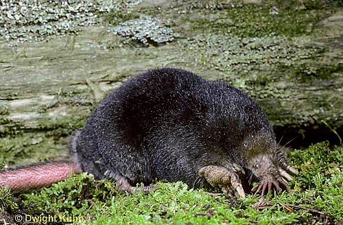 MB01-006z  Star-nosed Mole - adult searching for food - Condylura cristata