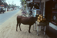 A wandering cow enjoys some coconuts in Sri Lanka in 1996.