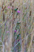 A bull thistle is surrounded by tall grasses at Ano Nuevo State Reserve on California's central coast.