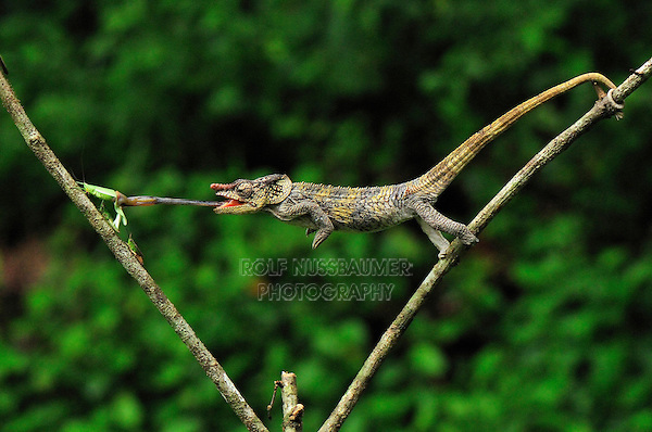 .Short-horned Chameleon (Calumma brevicornis), adult capturing an insect with its long tongue, Andasibe-Mantadia National Park, Madagascar