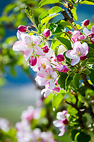Italy, South Tyrol (Trentino - Alto Adige), Val Venosta: Apple blossom | Italien, Suedtirol (Trentino - Alto Adige), Vinschgau: Apfelbluete