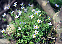 Gorgeous Thyme leaved bluets in spring at the Smoky mountains national park, USA - Free Nature Stock Image.