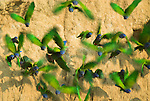 Blue Headed Parrots, Pionus menstruus, flying off from salt clay click, Manu, Peru, abstract, blurred movement, speed, flock, flight, scared, green. .Peru....
