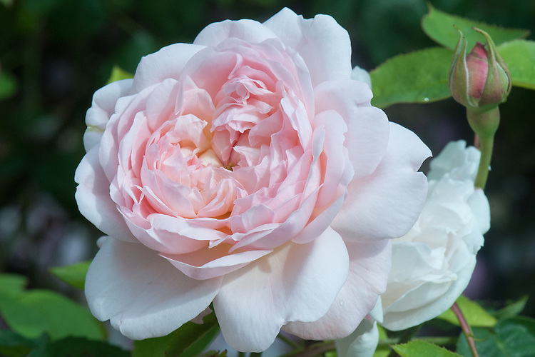 Rosa Heritage ('Ausblush'), late June. A repeat-flowering, soft-pink, fragrant rose. From David Austin, 1984. Derived from 'Iceberg' and 'Wife of Bath'.