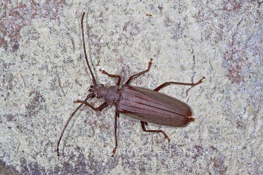 Körnerbock, Körner-Bock, Aegosoma scabricorne, Aegosoma scabricornis, Megopis scabricornis, Grain support beetle
