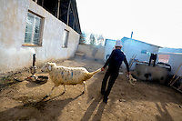 On the morning of the wedding Ahmat, 24, the groom, drags a sheep which he has saved for this occasion across his yard, taking it to be slaughtered. Dinara, 22, was kidnapped by Ahmat who wanted to marry her. After resisting for 5 hours, she finally accepted. 'I didn't know Ahmad well and didn't want to stay there. But I accepted because this is our tradition' Dinara says. Ahmat says: 'I had been looking for the right woman for a year and had been to many places but I nevr found the right one. I saw Dinara 10 days before I kidnapped her at a bazaar. I thought - I want to marry her.' Although illegal, bride kidnapping is common in rural parts of Kyrgyzstan. Each year around 16, 000 women become married after being kidnapped. They are known as 'Ala Kachuu' that translates as 'to grab and run away'. Defenders of the continuation of the practice sight tradition. However, during Soviet Times it was rare, and parents generally arranged marriages...