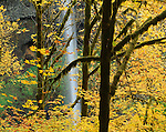 Silver Falls State Park, OR<br /> A forest of Big Leaf Maples in fall color with moss covered trunks and South Falls in the background in Silver Creek Canyon