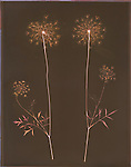 Lumen print of two Queen Anne's Lace cuttings